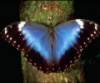 Butterfly-Blue Morphos