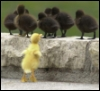 Comic Book Goddess: animals - bb duck