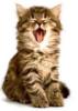 kitten, yawning
