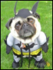 batman the hypothetical pug