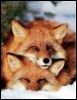 my favourite foxes