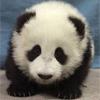 pancake_panda