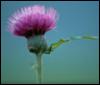 wild_thistle userpic