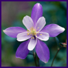 Aithine: purple columbine
