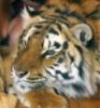 kazan_tigra userpic