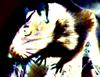 Мышь НЕбелая