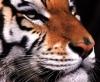 panthera_tygris userpic