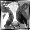 Black and white picture of cow