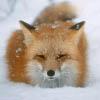 fox_rulezzz userpic