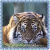 Tiger Lily: Tiger