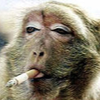 stressed out smokin monkey