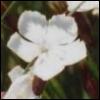 valkoneilikka userpic