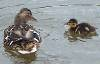 Janne: ducks
