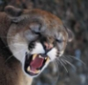 Angry Puma
