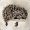 hedgefog userpic