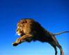 лев прыгнул
