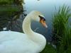 swans0ng