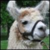 llama_tuesday userpic
