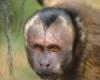 paco_capuchin userpic