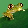 Senora Sassafrass: Frog peep