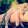 sleepy: leopard