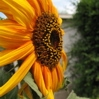 flowers-sunflower