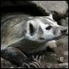 Badger stone