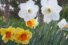 daffodil_duck userpic