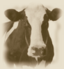 The Cow!