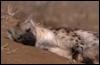 hyena Xander