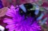 blue_bumblebee userpic
