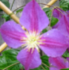 Lila Grubb: Clematis