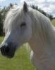 french pony