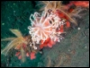Red Gorgonian coral branch in Puget Soun