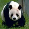 panda_girl