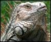 iguana tonante