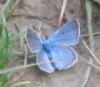 Sylvia: butterfly