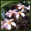 pink japanese flowers