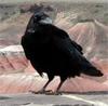 RavenLaughs