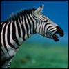 Zebra. Nyuh!