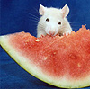 watermelon rat