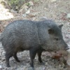 Why We Cite: Javelinas Rule