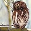 ravenskye8: Owl