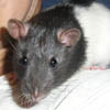 Ольга: крыс