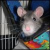 Fandom Rats