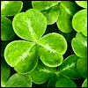 shamrocks close up [Irish busy/working]