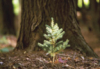seedling tree