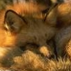 ryzhyj_fox userpic