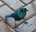 south african starling