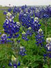 executive fangirl: misc - bluebonnets